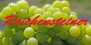 Reichensteiner grapes