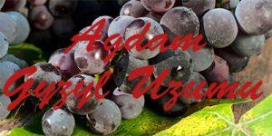Agdam Gyzyl Uzumu grapes
