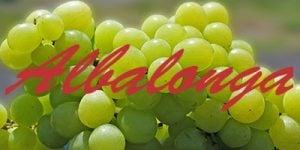 Albalonga grapes
