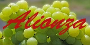Alionza grapes