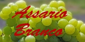 Assario Branco grapes