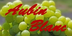 Aubin Blanc grapes