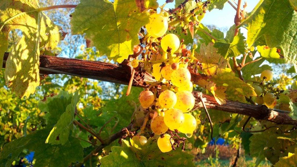 English wine - Seyval blanc grapes