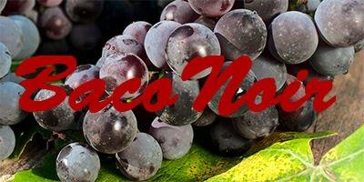 Baco Noir grapes