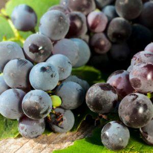 Barbera grapes