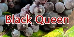 Wine with Black Queen grapes