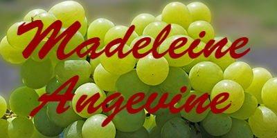 Madeleine Angevine